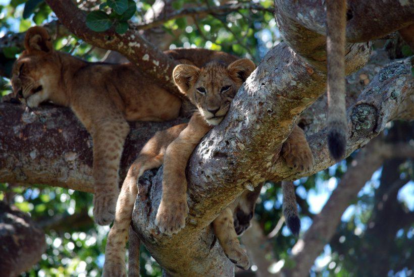 Lake Manyara 2 Lions in the Tree