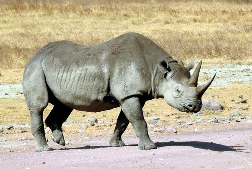 Ngorongoro Crater 1 Rhino