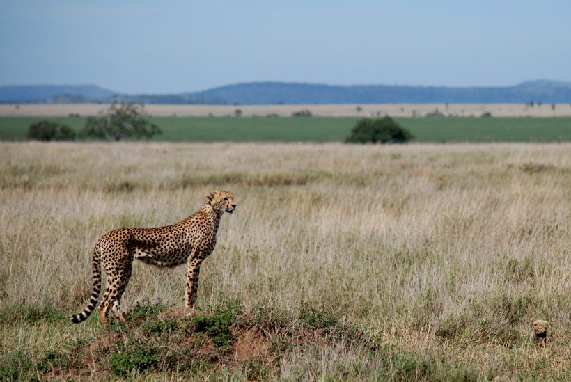 Serengeti 1 Cheetah