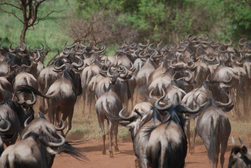 Serengeti 2 Migration