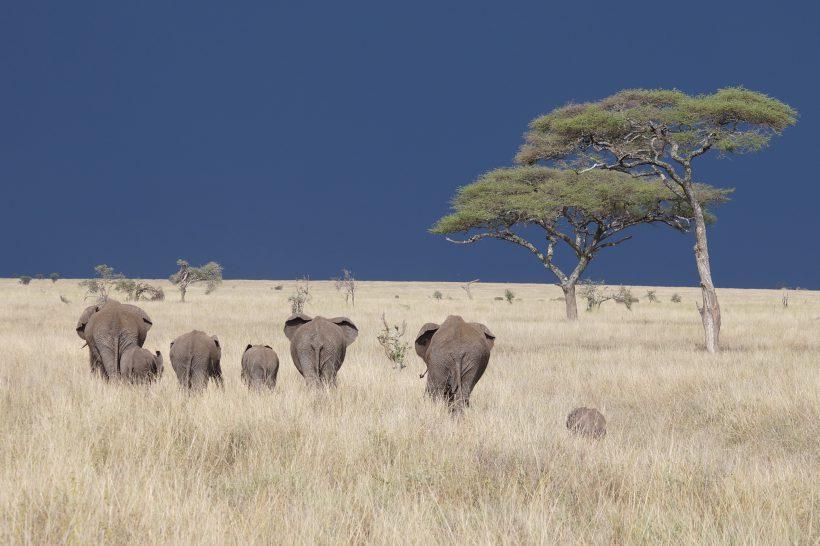 Serengeti 8 Elephants